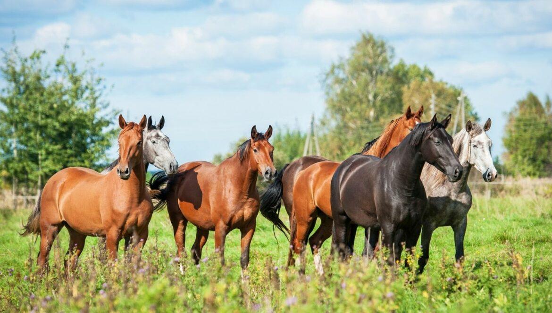 Fellfarben Pferd: Sieben Pferde mit unterschiedlichen Farben auf einer Wiese