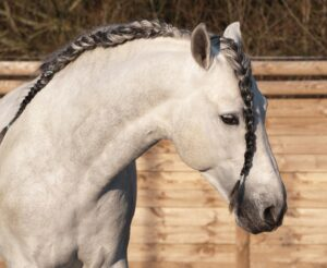 Spanish horse with a Spanish braid